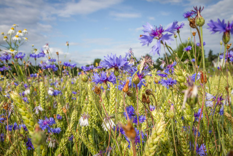 Wildflowers serve as reservoir for controversial pesticides - Royal Society of Chemistry | Together we can make a difference to help our,environment,Oceans,Nature and wildlife. | Scoop.it