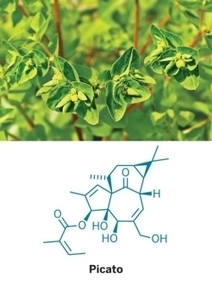Chemists Find More Efficient Total Synthesis Route To Ingenol | Chemical & Engineering News | The Frontier | Scoop.it