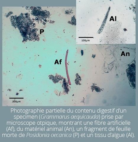 Les micro-plastiques dans les estomacs de poissons | Ecologie Animale | Scoop.it