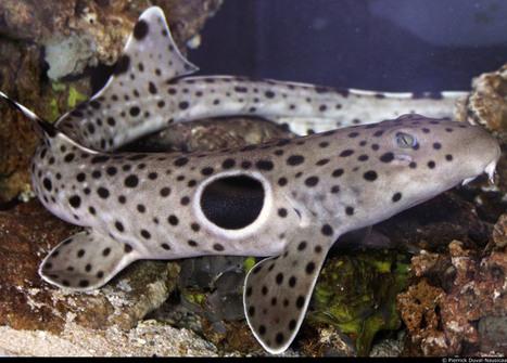 Nausicaa à Boulogne-sur-Mer réconcilie les requins et les hommes - L'Echo du Pas-de-Calais | Dans mon sac de plouf | Scoop.it