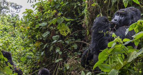 L'électricité au secours des derniers gorilles de montagne - le Monde | Actualités écologie | Scoop.it