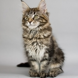 Maine Coon Cat | Cat Breeds Information | Scoop.it