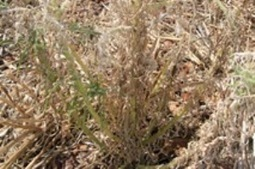 Call for vigilance on fleabane as weed spreads in WA | agribusiness | Scoop.it