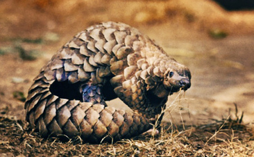 We're Eating Pangolins Off the Face of the Earth | GarryRogers Biosphere News | Scoop.it