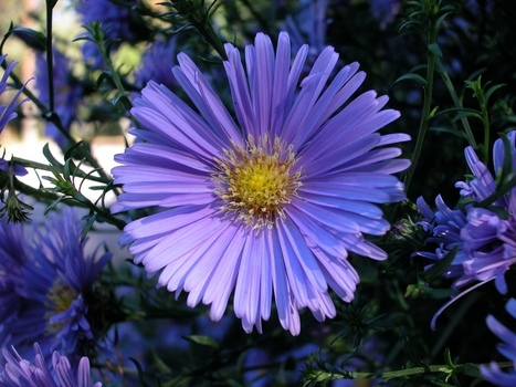 Grow Asters for Late Flower Color | Fall Perennials | Scoop.it