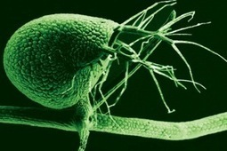 "Bladderwort Study Adds To The Debate On ""Junk"" DNA 