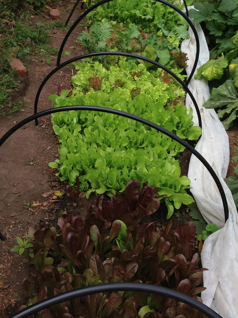 This lettuce looks picture perfect | Plants, Fungi, & Urban Agriculture | Scoop.it