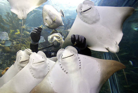 Smile, everybody! Cownose rays appear to be posing, but... | Sight For Sore Eyes | Scoop.it