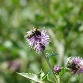 Même à faible dose, les insecticides désorientent les bourdons | Toxique, soyons vigilant ! | Scoop.it