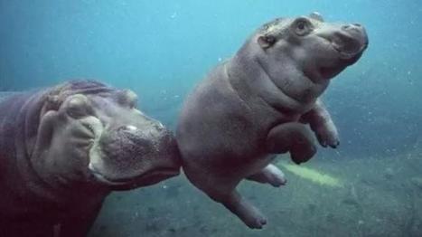 VIDEO. Au zoo de San Diego, une mère hippopotame apprend à nager à son nouveau-né   Autres Vérités   Scoop.it