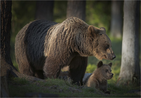 Bear Family in Finland | Interesting things | Scoop.it