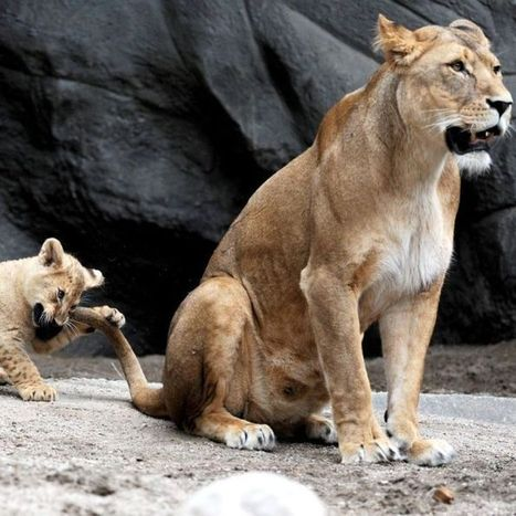 Danish zoo that dissected giraffe kills four healthy lions   Humanity   Scoop.it
