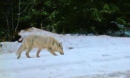 California wolf inspires new state Web page | Conservation, Ecology, Environment and Green News | Scoop.it