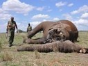 Are elephants paying the price of office politics? | Wildlife and Conservation | Scoop.it