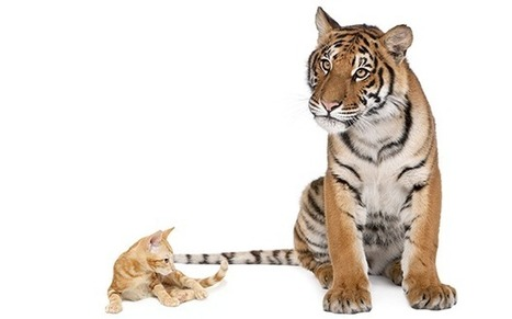 11 Ways Big Cats Are Just Like Domestic Cats | Just Interesting | Scoop.it