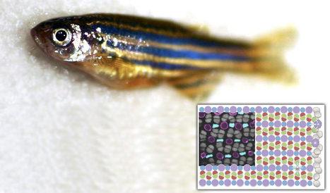 Restoring Vision: Zebrafish's stem cells can selectively regenerate damaged photoreceptor cells   Amazing Science   Scoop.it
