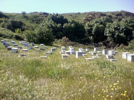 Chlef: des apiculteurs venus de 11 wilayas prennent part au 2éme salon national | Abeilles, intoxications et informations | Scoop.it