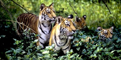 100 Years Ago 100,000 Tigers Roamed the World, Now There Are Fewer Than 4,000 | Farming, Forests, Water, Fishing and Environment | Scoop.it