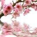 Les hydrolats aromatiques ou eaux florales | Huiles essentielles : le guide | tout sur les Huiles Essentielles | Scoop.it