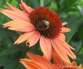 Japanese Beetle - Get Busy Gardening | Annie Haven | Haven Brand | Scoop.it