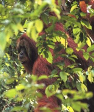 Orangutans plan their travel route up to one day in advance and communicate it to other members of their clan | Amazing Science | Scoop.it
