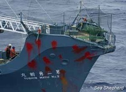 Sea Shepherd :: Sea Shepherd Ploy Leaves Two Frustrated Japanese Whaling Captains Looking Silly at Sea | Whales | Scoop.it
