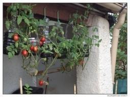 Faire pousser de la nourriture au plafond et sur les murs | Se-Preparer-Aux-Crises.fr | Le Ʈimiôtata | Scoop.it