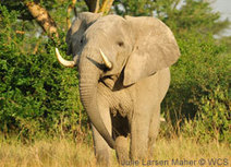 President Obama: Keep fighting poaching! - Wildlife Conservation Society | GarryRogers Biosphere News | Scoop.it