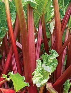 Yard and Garden: Planting Rhubarb | Vegetable Gardening Resources | Scoop.it