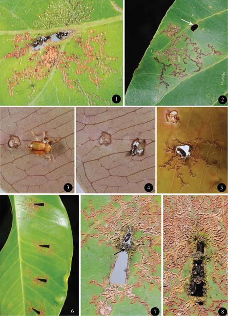 Des trous dans les feuilles sont utilisés et réaménagés comme abris par deux nouvelles espèces de chrysomèles | EntomoNews | Scoop.it