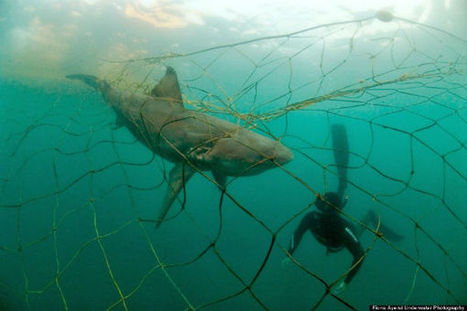 'Bycatch' Is Likely On Your Dinner Plate | Nature Animals humankind | Scoop.it