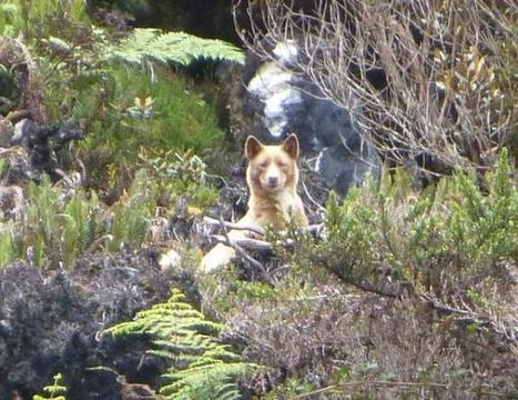 Rare New Guinea Singing Dog Snapped in the Wilds of West Papua | Komunitas Papua News | Scoop.it