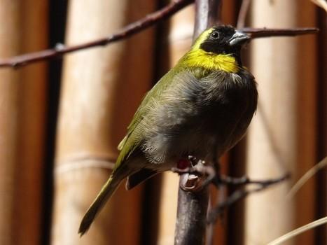 Photo d'oiseau: Sporophile petit-chanteur - Petit chanteur de Cuba - Tiaris canora | Fauna Free Pics - Public Domain - Photos gratuites d'animaux | Scoop.it