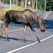 Moose Leads Police To Pot-Growing Operation   Gov and Law Ashley   Scoop.it