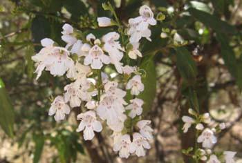 Prostanthera lasianthos – Victorian Christmas Bush | Australian Plants on the Web | Scoop.it
