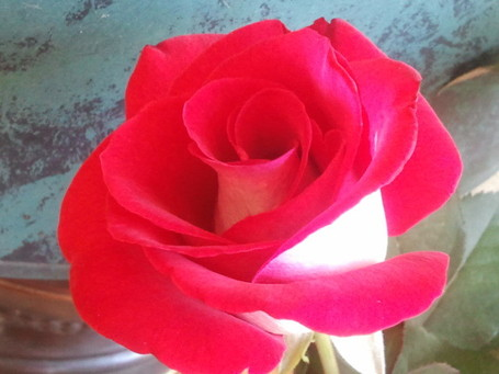 Wordless Wednesday – Ronald Reagan Hybrid Tea | Garden Roses | Scoop.it