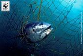 Le WWF dévoile les fraudes sur le commerce de thon rouge / Actualités / S'informer - WWF France   Responsabilité humaine et environnement   Scoop.it