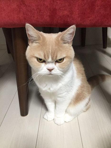 On te présente le Grumpy Cat japonais (et il est encore plus grognon que l'original) – FraisFrais | Mangas, littérature et culture d'Asie | Scoop.it
