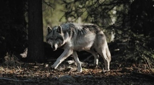 Rethinking predators: Legend of the wolf | Papers | Scoop.it