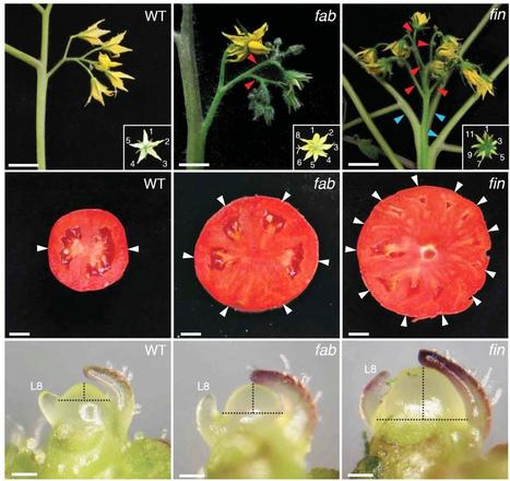 Team pinpoints genes that make plant stem cells, revealing origin of beefsteak tomatoes | Plant-Microbe Interaction | Scoop.it