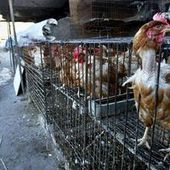 Grippe aviaire : premier cas de décès du virus H10N8 en Chine | Chine & Intelligence économique | Scoop.it
