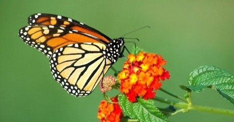 La lutte du papillon - Restauration des espèces indigènes en Haiti | Variétés entomologiques | Scoop.it