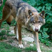 Encore un loup tué pour rien par l'Etat français - Actualité - LPO (Ligue pour la Protection des Oiseaux) | Sauvegarde et Protection des animaux | Scoop.it