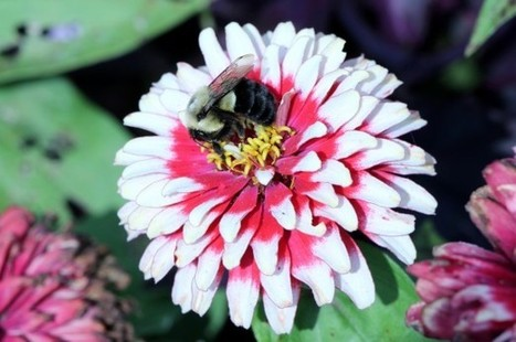 How plants may be evolving to the lack of bees   Sustain Our Earth   Scoop.it