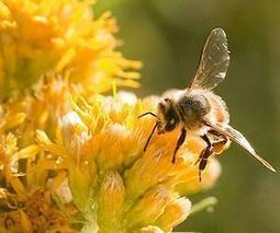 US regulators under fire over bee-toxic pesticides | Sustain Our Earth | Scoop.it