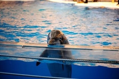 "India Declares Dolphins To Be ""Non-Human Persons"", Dolphin Shows Banned | Cette société contemporaine... | Scoop.it"