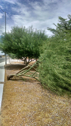 Arizona Gardeners: Resetting uprooted trees needs to be done before roots die | CALS in the News | Scoop.it
