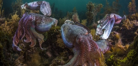 Malgré le réchauffement climatique, poulpes, seiches et autres calmars prolifèrent dans les océans | Biodiversité | Scoop.it