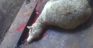 Investigations | Animals Australia | Animal cruelty | Scoop.it
