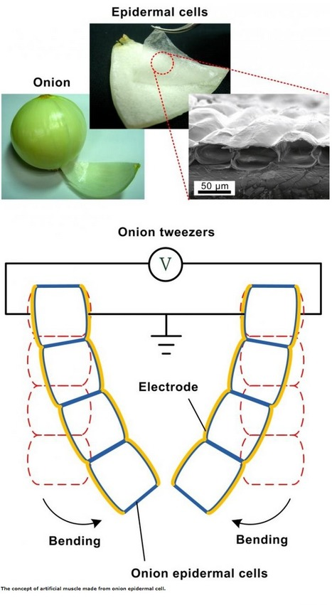 Artificial muscles created from gold-plated onion cells | I didn't know it was impossible.. and I did it :-) - No sabia que era imposible.. y lo hice :-) | Scoop.it
